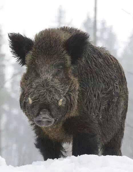 Big boar http://riflescopescenter.com/category/bushnell-riflescope-reviews/