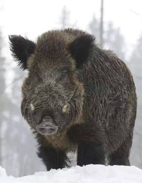17 Best images about hunting on Pinterest | Hunt's, Texas ... Giant Wild Boar Photos