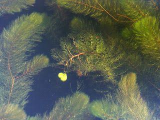 Плотоядные растения: Пузырчатка - Utricularia