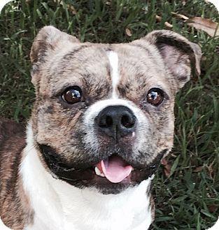 Miami, FL - Corgi/French Bulldog Mix. Meet Rufus, a dog for adoption. http://www.adoptapet.com/pet/13453564-miami-florida-corgi-mix