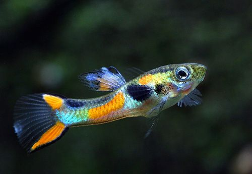 Endlers livebearer aquaria aquascapes pinterest Livebearer aquarium fish