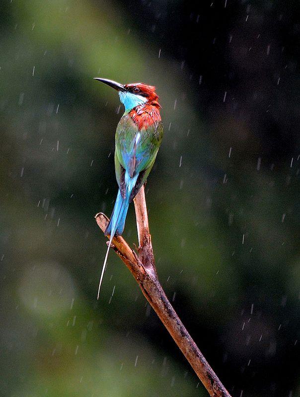 """Rain on me!""  Blue-throated Bee-Eaters (Merops viridis), in the Danum Valley Rainforest, Borneo."