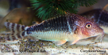 1000+ images about Freshwater Fish: Corydoras and Allies on Pinterest ...