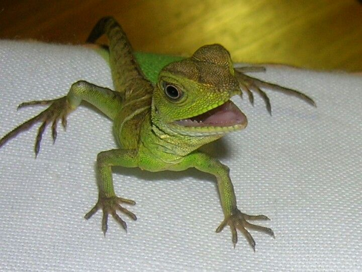 Baby chinese water dragon   Reptiles and amphibians ...