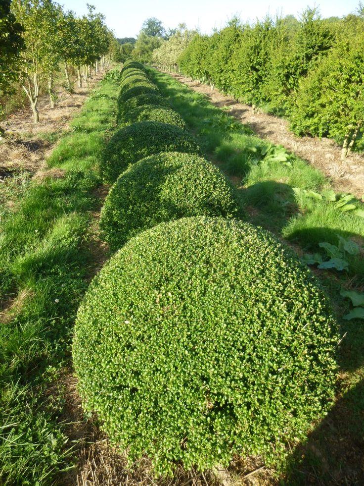 10 best buxus cultivars boxwood cultivars images on. Black Bedroom Furniture Sets. Home Design Ideas