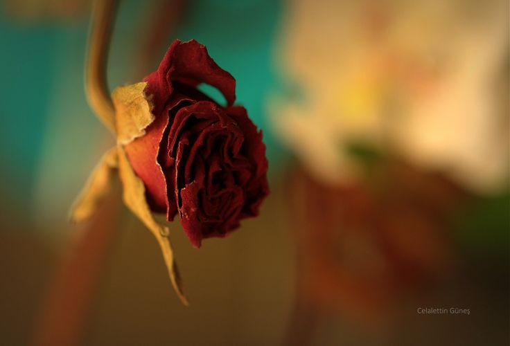 """""""Hatıradır sevdiğimizden ..."""" desem,  kaç kişinin aklına gelir ki bir mezarın başucunda açmış güllerden alınıp kurutulduğu ..."""