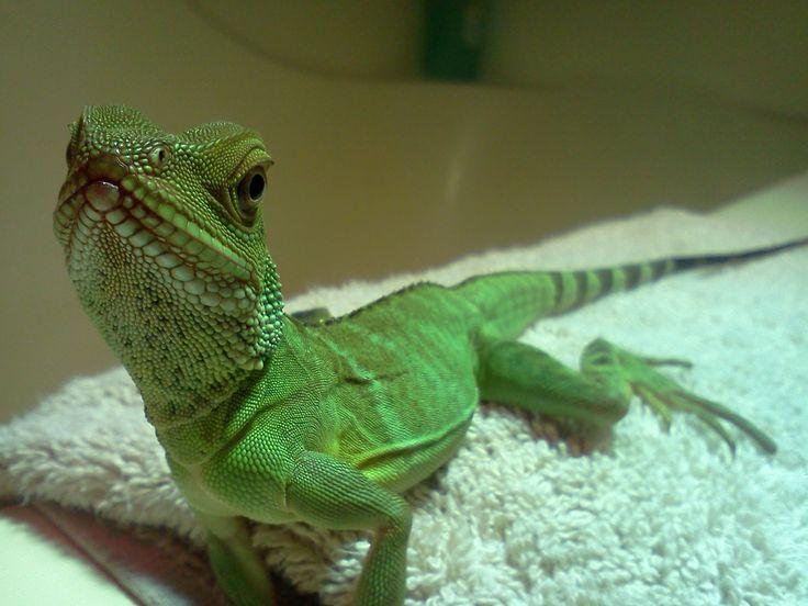 My Chinese Water Dragon | Cute Animals | Pinterest | Water ...