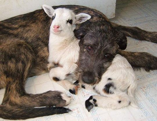Got my goat!  #funnyanimals #dogs #goat