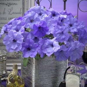 Petunia Evening Scentsation F1. The first petunia to receive an AAS award for its lovely fragrance and stunning colour.