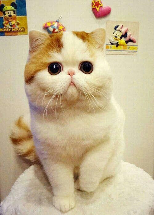 .♥. Snoopy Cat-Exotic Short Hair.♥.