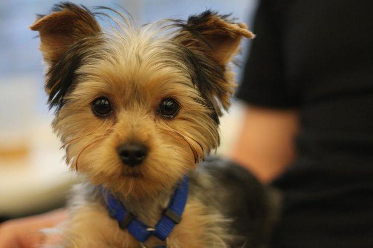 yorkie puppy cut Google Search dogs Pinterest Pets