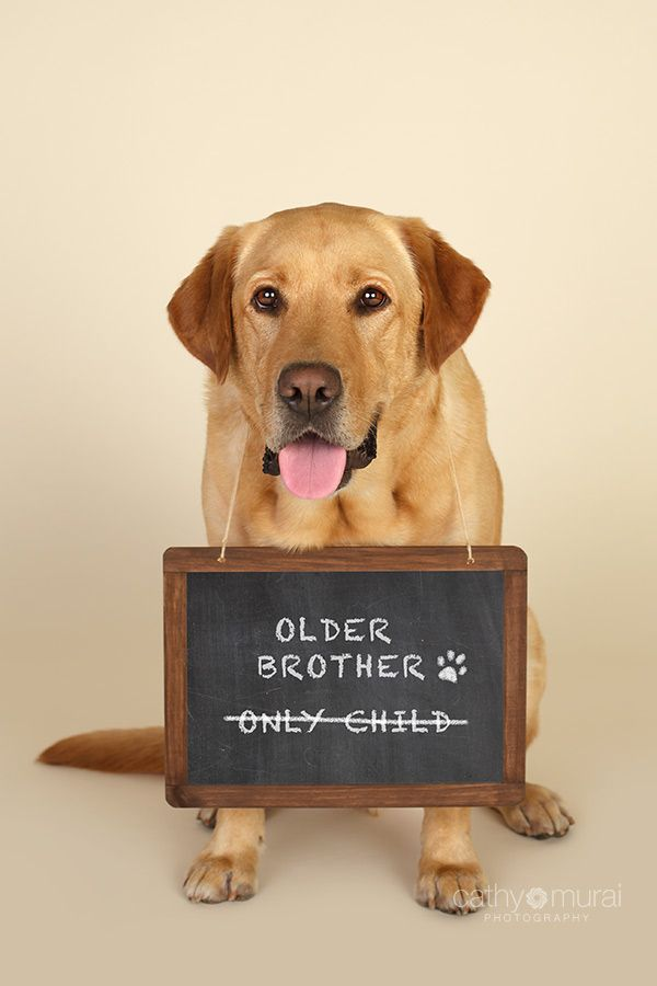 Yellow Labrador Dog welcoming his new sibling for pregnancy – Birth Announcement with Dog