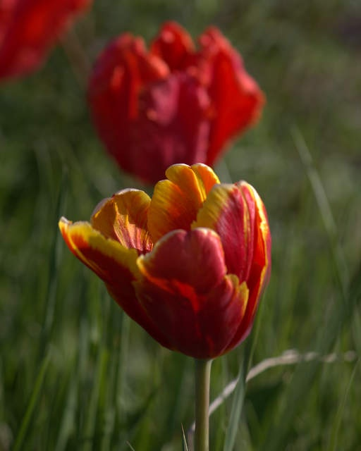 Love the bright red and orange tulips