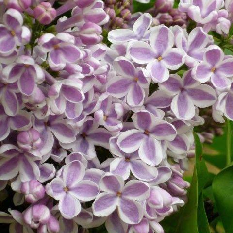 Flieder Syringa vulgaris 'Lila Wonder®' - Lila Flieder - Flieder-Premium Fliedertraum