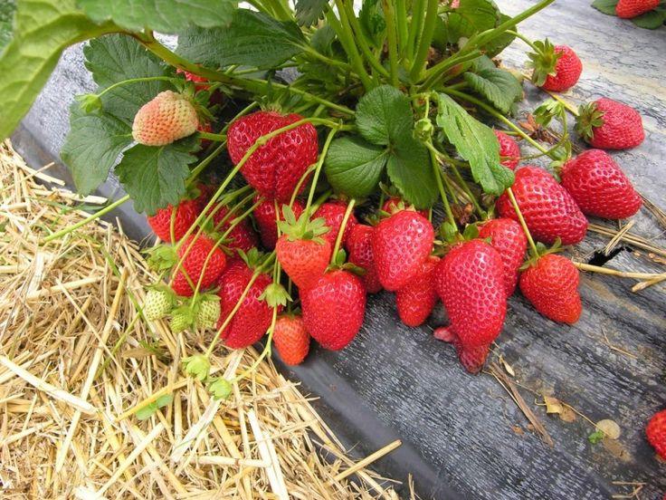Землянике садовой, как и другим культурным растениям, требуются определенные условия для роста и плодоношения. Какие?  Посадки земляники следует чередовать с овощами или цветами, возвращая на прежнее…