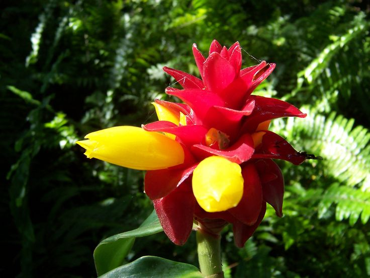 Costus ginger blooms in the spring, but the red part of  the bloom lasts all summer.