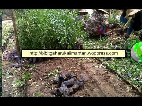 Bibit Gaharu (aquilaria malaccensis)anakan,biji balikpapan 081251826868