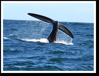 Whale watching in Knysna, South Africa