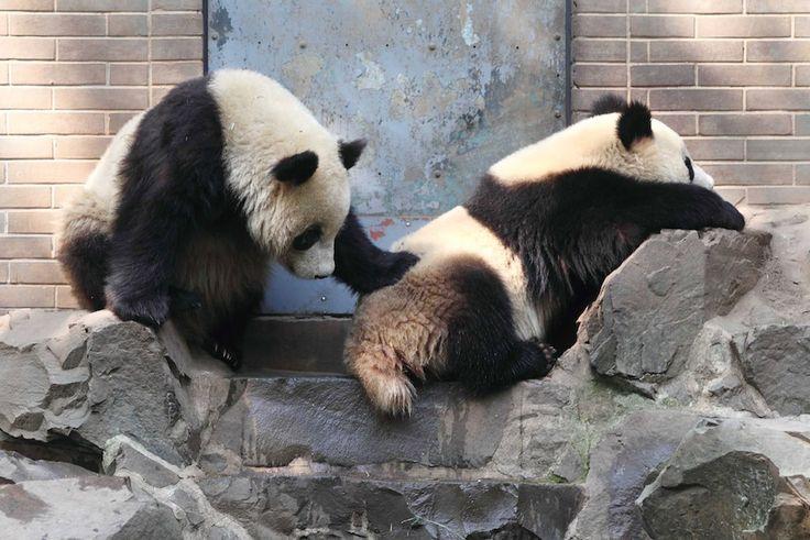 IlPost - Due panda giganti nello zoo di Hangzhou, in Cina (STR/AFP/Getty Images)