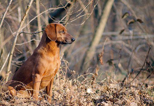 Tyrolean Hound / Tiroler Bracke #Dogs #Puppy #Scenthound #Hound #Dogs #Puppy #Dog #Puppies #Hunting