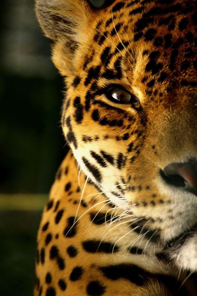 Jaguar, Venezuela by Jorge Bruzual
