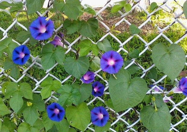 67 best images about chain link fence landscapes on for Climbing flowering plants for fences