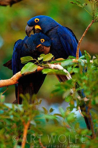 """""""A raucous roar announces the arrival of the hyacinth macaw - the bird all visitors want to see. This is the world's largest parrot, measuring in at 1m and weighing 1.5kg."""" Pantanal Wildlife; www.bradtguides.com"""