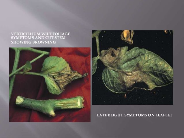 VERTICILLIUM WILT FOLIAGE SYMPTOMS AND CUT STEM SHOWING BROWNING LATE BLIGHT SYMPTOMS ON LEAFLET