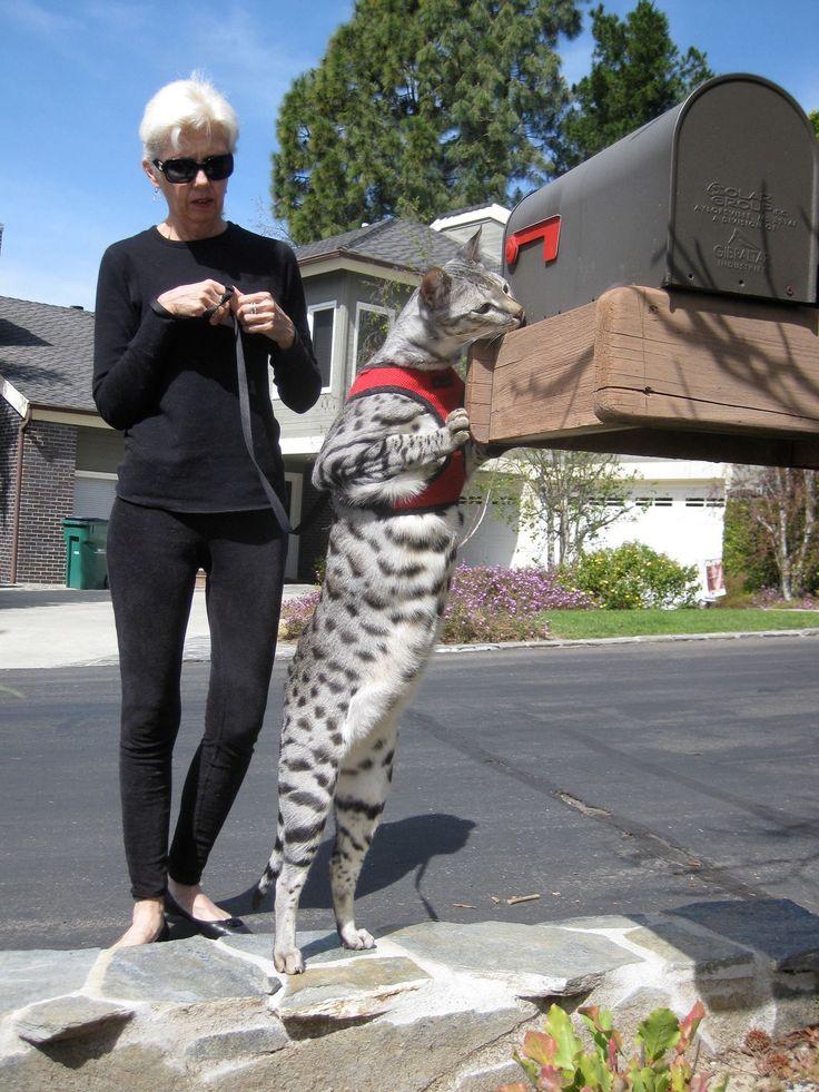 A really nice Savanah cat.