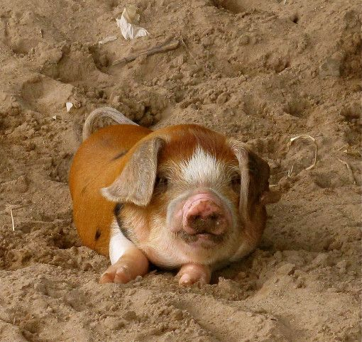 Cute Pet Share | What an adorable little piggy! | http://www.cutepetshare.com