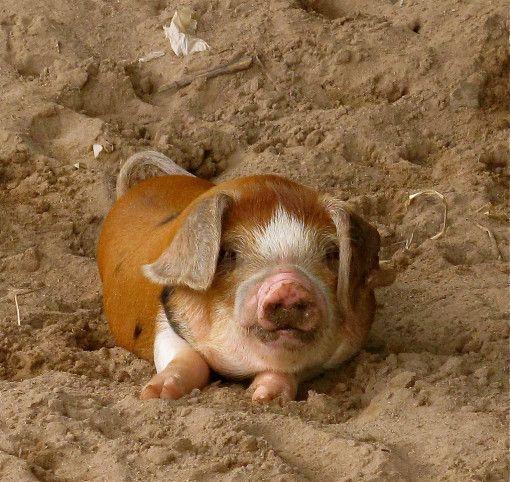 Cute Pet Share | What an adorable little piggy! | http://www.cutepetshare.com