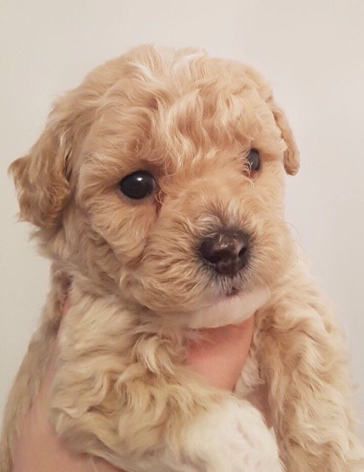 The Ultimate Info About Poochon Dog Which Includes Poochon Dog