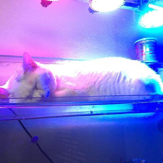最近よく海水の水槽の上で寝てるんだけど、ライトの色のせいで、日サロで焼いてるようにしか見えない😅 #終わっちゃったけど #いいにゃんにゃんの日 #1122 #いい夫婦の日よりいいにゃんにゃんの日 #日サロ #拾い猫 #捨て猫出身 #愛猫 #猫