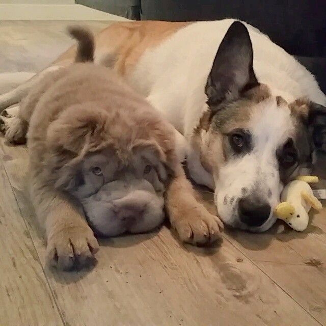 the dog on the left is a bear-coat shar-pei...yes, please!
