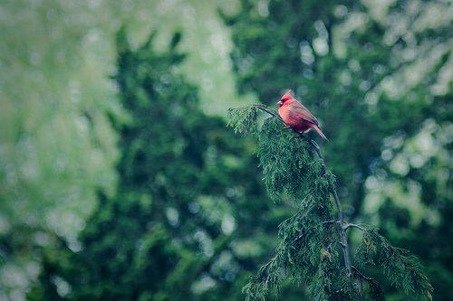 Red bird - cardinal Edwards Gardens Toronto