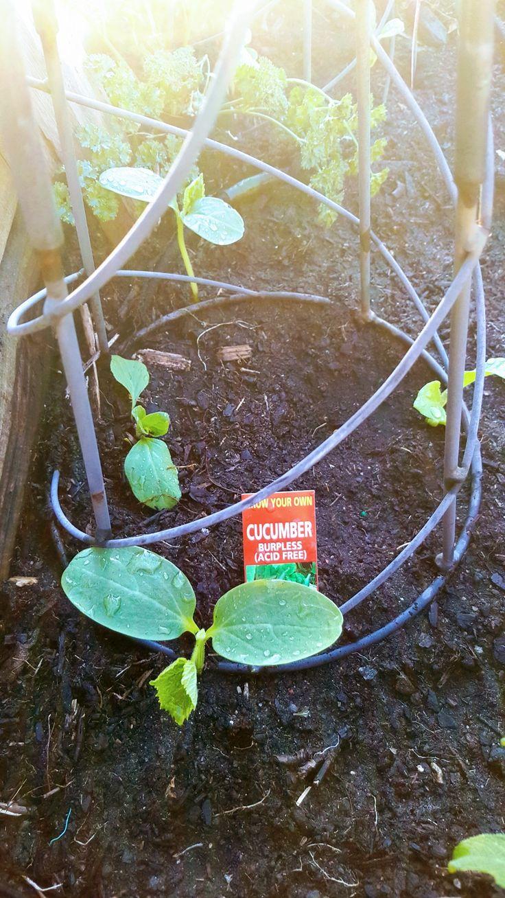 Spring17 Cucumber burpless
