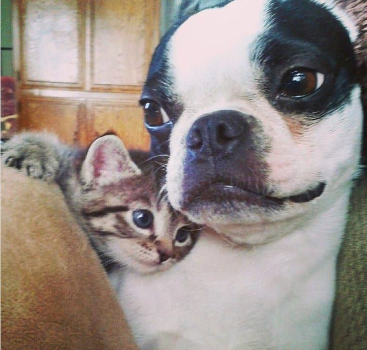 24 Cats And Dogs Who Fell In Love With Each Other Boston Terrier