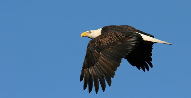 Where do they stand? | Ontario Nature's wildlife blog ... pictured: Bald eagle, Terry-Alex