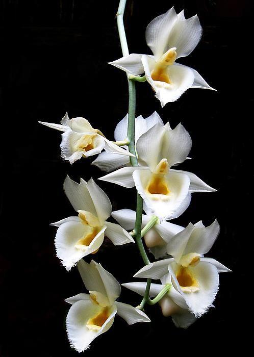 Catasetum Pileatum Orchid