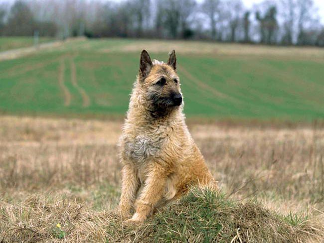 laekenois dog photo belgian shepherd dog laekenois