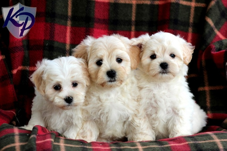 Fuller Maltipoo Puppies for Sale in PA Keystone