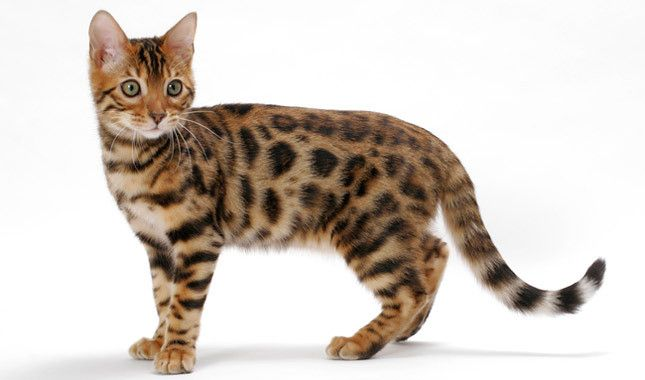 Bengel:  If you love a cat with an exotic look but without the size and danger of a wild cat, the Bengal was developed with you in mind. Created by crossing small Asian Leopard Cats with domestic cats, this large-boned, shorthaired cat stands out for his spotted or marbled coat of many colors.