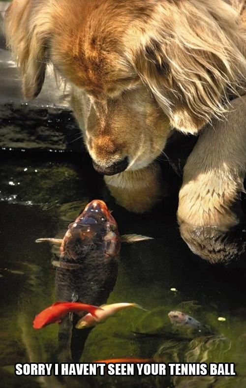 305 best cute and funny animals images on pinterest for Koi pond labradors