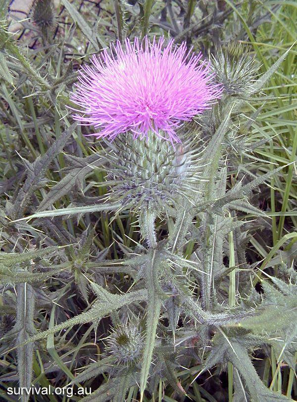 Cirsium vulgare - Spear Thistle - Bush Tucker Plant Foods