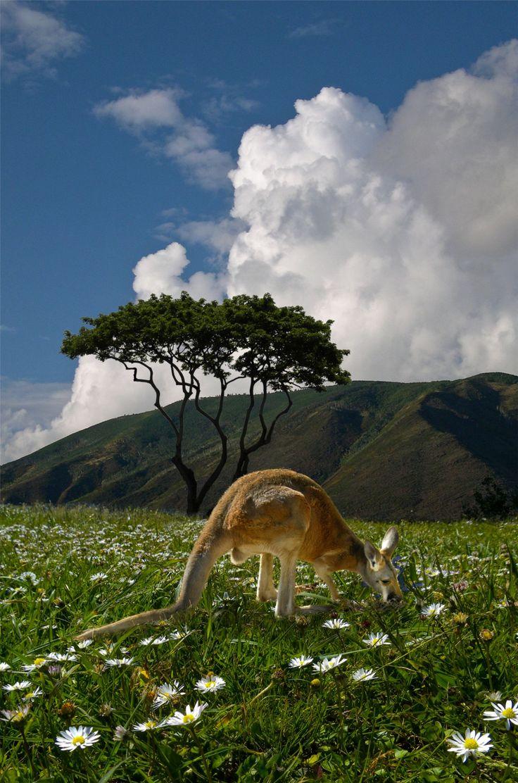 100 best kangaroo images on pinterest kangaroos animals and