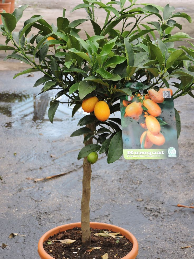 Kumquat Mini Standard, 70cm+ height, 5ltr decopot