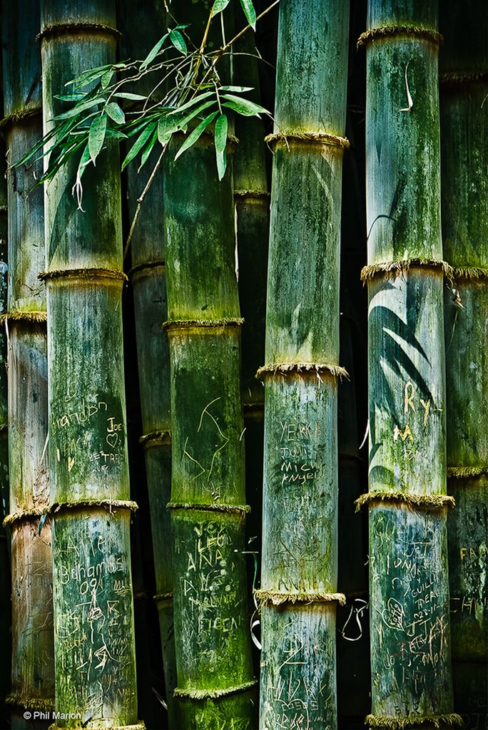 """Bamboo - Alajuela, Costa Rica"" ~ Photography by Phil Marion on Flickr."