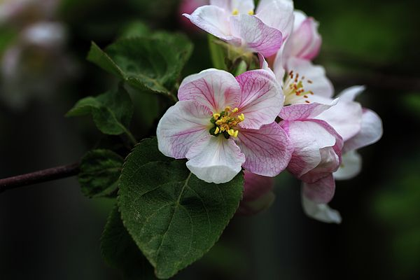 Blooming byApple branch bright spring day George Westermak  Abundant spring flowering fruit trees - the harbinger of good harves t#GeorgeWestermak#flowers#FineArtPrints#ArtHomeDecor