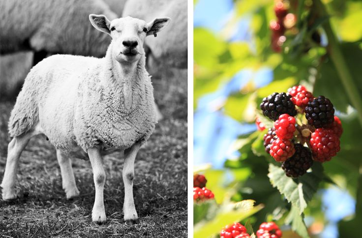 This is Huron » A Simple Photograph - sheep - blackberries  - Huron County - Ontario