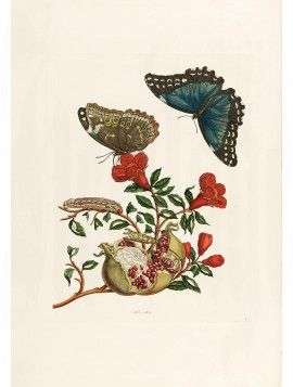 Merian 15 Morpho Menelaus & Pomegranate